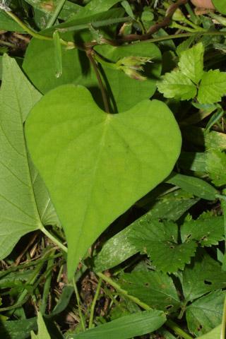 Image http://bioimages.vanderbilt.edu/lq/baskauf/wipla--lf29426.jpg