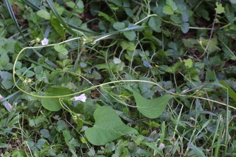 Image http://bioimages.vanderbilt.edu/lq/baskauf/wipla--wp29410.jpg