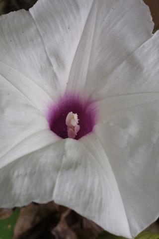 Image http://bioimages.vanderbilt.edu/lq/baskauf/wippa--flclose-front13463.jpg