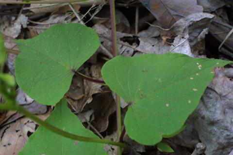 Image http://bioimages.vanderbilt.edu/lq/baskauf/wippa--lf13469.jpg