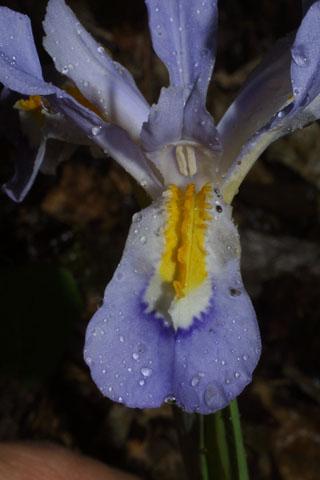 Image http://bioimages.vanderbilt.edu/lq/baskauf/wircr--flfront33049.jpg