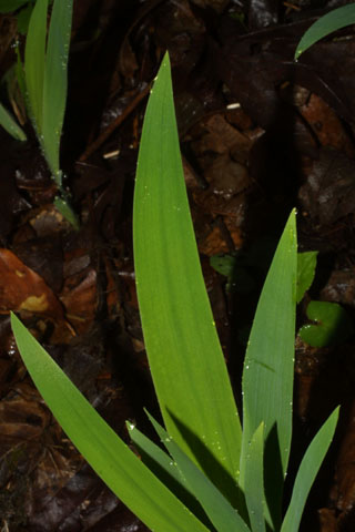 Image http://bioimages.vanderbilt.edu/lq/baskauf/wircr--lf33029.jpg
