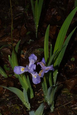 Image http://bioimages.vanderbilt.edu/lq/baskauf/wircr--wp33019.jpg
