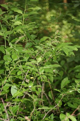 Image http://bioimages.vanderbilt.edu/lq/baskauf/witvi--wp54950.jpg