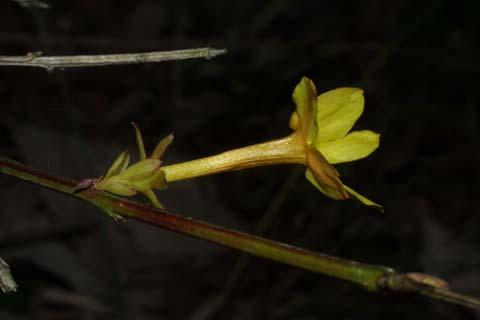 Image http://bioimages.vanderbilt.edu/lq/baskauf/wjanu--flside31478.jpg