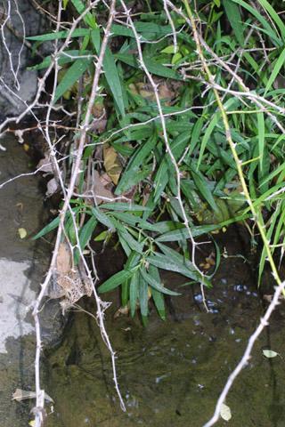 Image http://bioimages.vanderbilt.edu/lq/baskauf/wjuam--wp36529.jpg