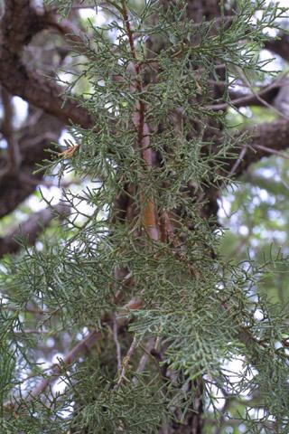 Image http://bioimages.vanderbilt.edu/lq/baskauf/wjude2-lfseveral14532.jpg