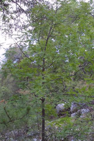 Image http://bioimages.vanderbilt.edu/lq/baskauf/wjuma--wp14593.jpg