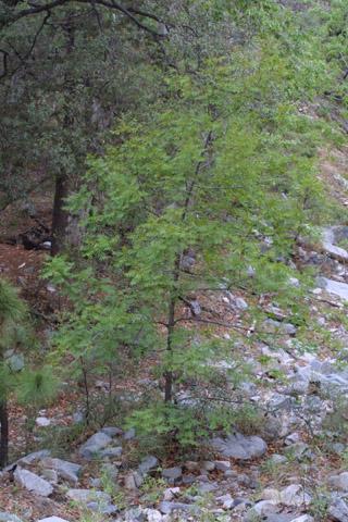 Image http://bioimages.vanderbilt.edu/lq/baskauf/wjuma--wp14594.jpg