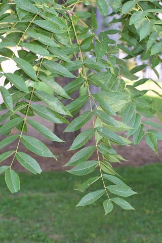 Image http://bioimages.vanderbilt.edu/lq/baskauf/wjuni--lf43251.jpg