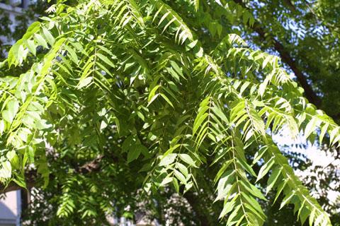 Image http://bioimages.vanderbilt.edu/lq/baskauf/wjuni--lfseveral11188.jpg
