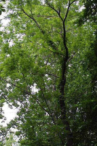 Image http://bioimages.vanderbilt.edu/lq/baskauf/wjuni--wpin-woods11335.jpg