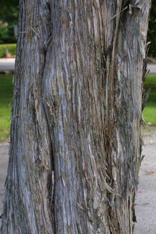 Image http://bioimages.vanderbilt.edu/lq/baskauf/wjuvi--br11100.jpg