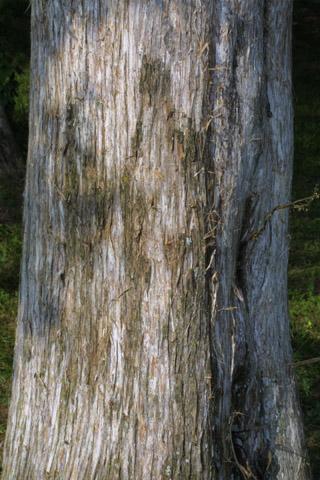 Image http://bioimages.vanderbilt.edu/lq/baskauf/wjuvi--brlarge-tree11524.jpg