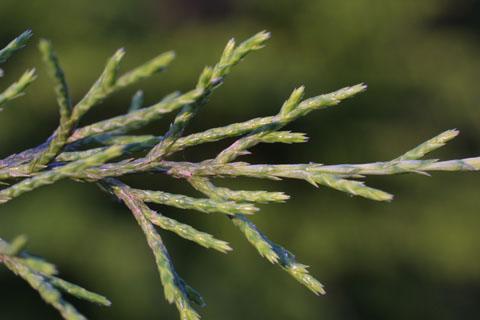 Image http://bioimages.vanderbilt.edu/lq/baskauf/wjuvi--lf11202.jpg
