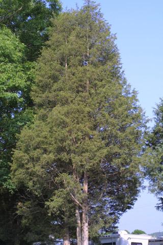 Image http://bioimages.vanderbilt.edu/lq/baskauf/wjuvi--wplarge11522.jpg