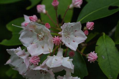 Image http://bioimages.vanderbilt.edu/lq/baskauf/wkala--flclose11363.jpg