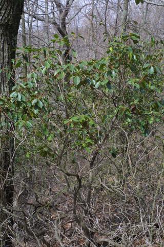 Image http://bioimages.vanderbilt.edu/lq/baskauf/wkala--wp18365.jpg