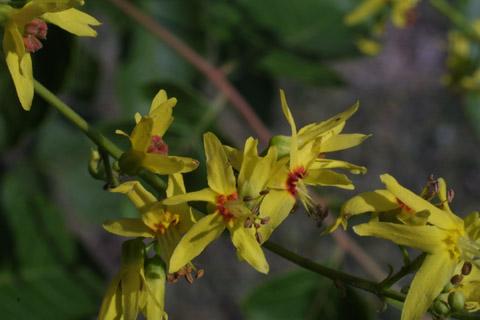 Image http://bioimages.vanderbilt.edu/lq/baskauf/wkopa--flclose13062.jpg