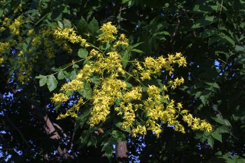 Image http://bioimages.vanderbilt.edu/lq/baskauf/wkopa--flinflor13058.jpg