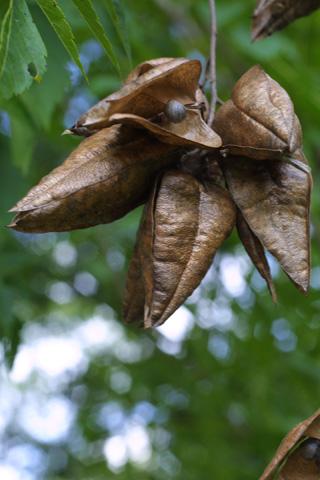 Image http://bioimages.vanderbilt.edu/lq/baskauf/wkopa--frmature15514.jpg