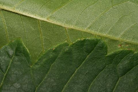 Image http://bioimages.vanderbilt.edu/lq/baskauf/wkopa--lfmargin-uplow52509.jpg