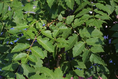 Image http://bioimages.vanderbilt.edu/lq/baskauf/wkopa--lfseveral13064.jpg