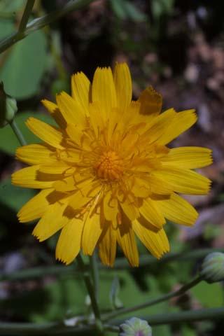 Image http://bioimages.vanderbilt.edu/gq/baskauf/gkrbi--flfront22134.jpg