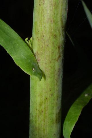 Image http://bioimages.vanderbilt.edu/lq/baskauf/wlaca--st27691.jpg