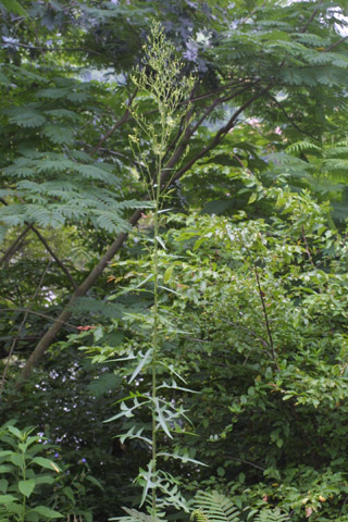 Image http://bioimages.vanderbilt.edu/lq/baskauf/wlaca--wp27680.jpg