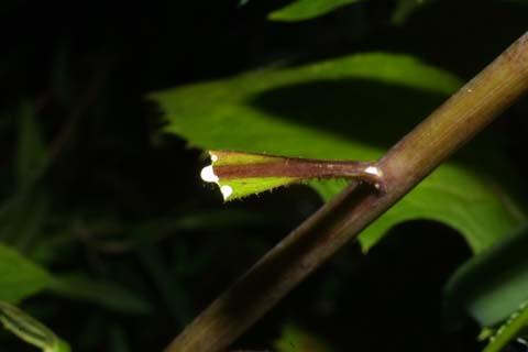 Image http://bioimages.vanderbilt.edu/lq/baskauf/wlafl--lflatex29231.jpg