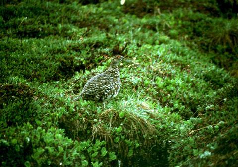 Image http://bioimages.vanderbilt.edu/lq/baskauf/wlaglags3704.jpg