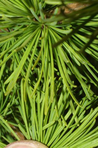 Image http://bioimages.vanderbilt.edu/lq/baskauf/wlaoc--lfup-low43117.jpg
