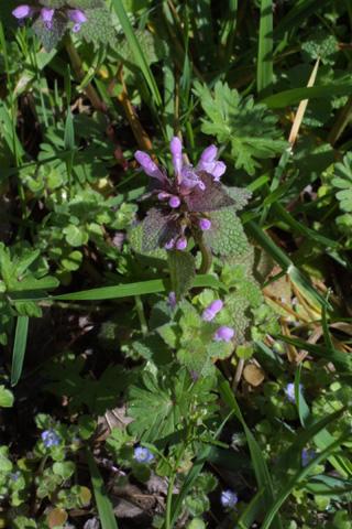 Image http://bioimages.vanderbilt.edu/lq/baskauf/wlapu2-flinflor17610.jpg
