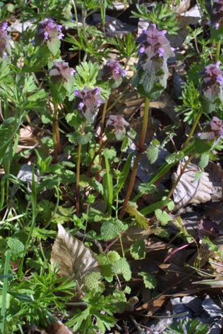 Image http://bioimages.vanderbilt.edu/lq/baskauf/wlapu2-wp18904.jpg