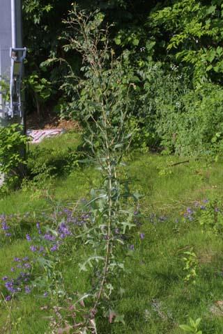 Image http://bioimages.vanderbilt.edu/lq/baskauf/wlase--wp26732.jpg