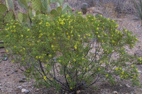 Image http://bioimages.vanderbilt.edu/lq/baskauf/wlatr2-wpin-flower14319.jpg