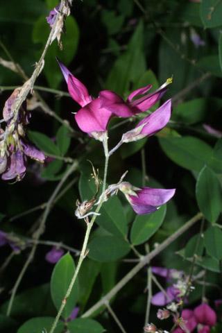 Image http://bioimages.vanderbilt.edu/lq/baskauf/wlebi2-flinflor27881.jpg
