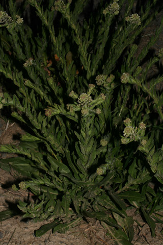 Image http://bioimages.vanderbilt.edu/lq/baskauf/wleca5-wp51776.jpg