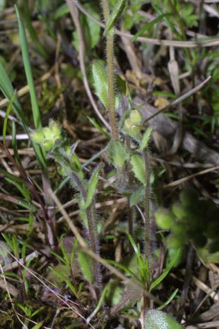 Image http://bioimages.vanderbilt.edu/lq/baskauf/wlede3-st31249.jpg