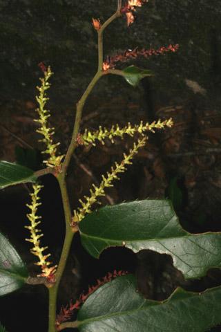 Image http://bioimages.vanderbilt.edu/lq/baskauf/wlefo--frdevel49380.jpg
