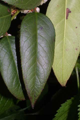 Image http://bioimages.vanderbilt.edu/lq/baskauf/wlefo--lf26070.jpg