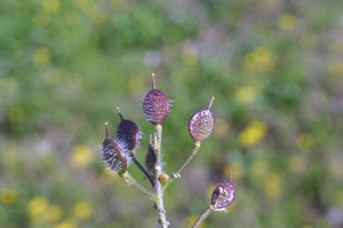 Image http://bioimages.vanderbilt.edu/lq/baskauf/wlele6-fr18944.jpg