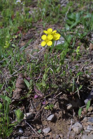 Image http://bioimages.vanderbilt.edu/lq/baskauf/wlele6-wp17987.jpg