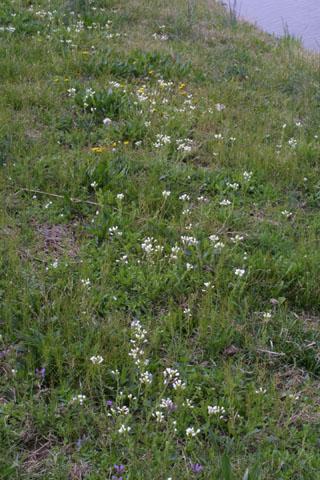 Image http://bioimages.vanderbilt.edu/lq/baskauf/wlepe3-wpmass31800.jpg