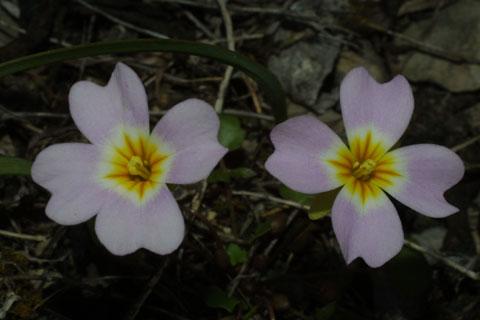 Image http://bioimages.vanderbilt.edu/gq/baskauf/glest7-fllavender31558.jpg