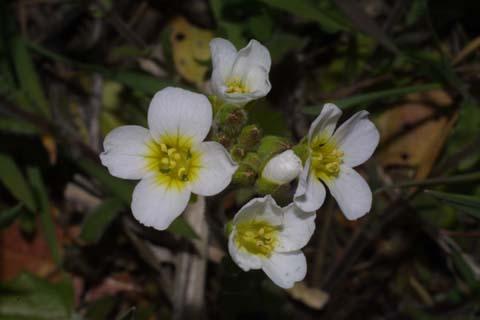 Image http://bioimages.vanderbilt.edu/lq/baskauf/wlest8-flfront31218.jpg