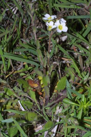 Image http://bioimages.vanderbilt.edu/lq/baskauf/wlest8-wp31235.jpg