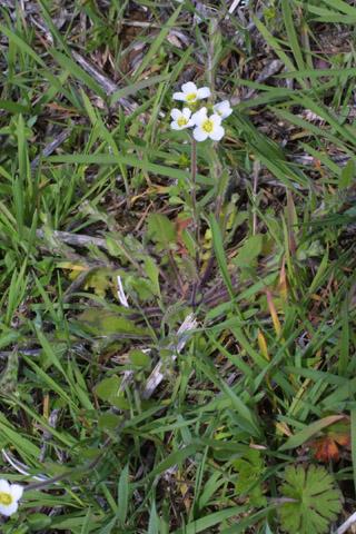 Image http://bioimages.vanderbilt.edu/lq/baskauf/wlest8-wp31237.jpg
