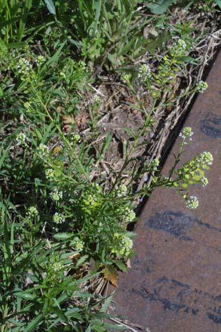 Image http://bioimages.vanderbilt.edu/lq/baskauf/wlevi3-wp24051.jpg